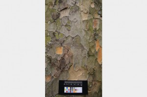 leafsnap-platanus-hispanicus-bark-on-grey-753x500