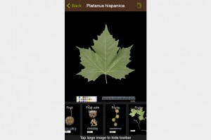 leafsnap-platanus-hispanicus-screenshot-on-grey-753x500